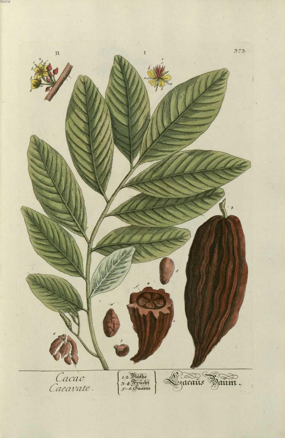 gravure_plante_medicinale_-_cacao_caeavate